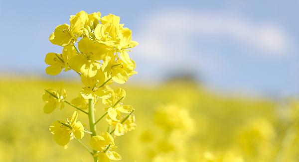 3月の食材は「菜の花」